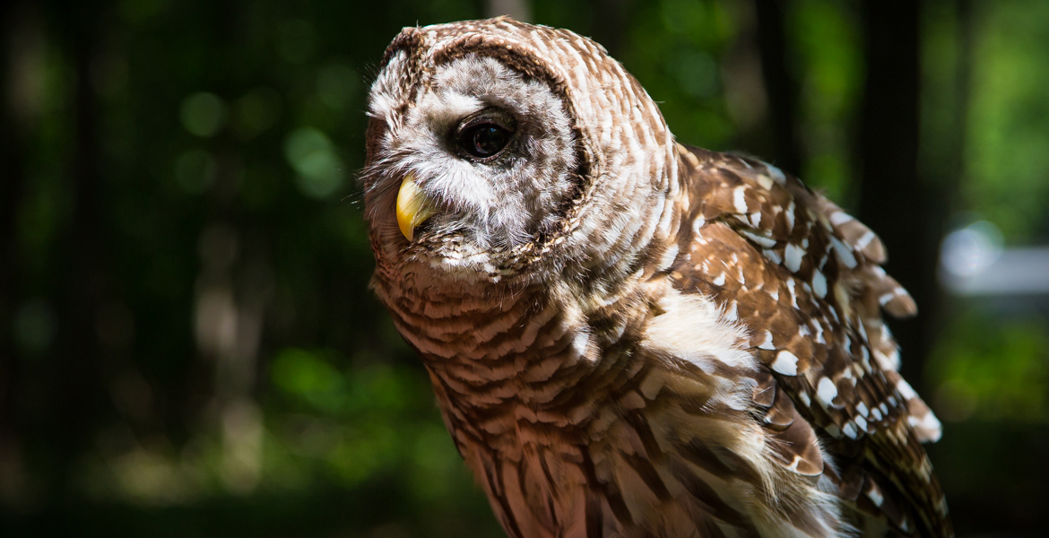 Athena the Barred Owl 2