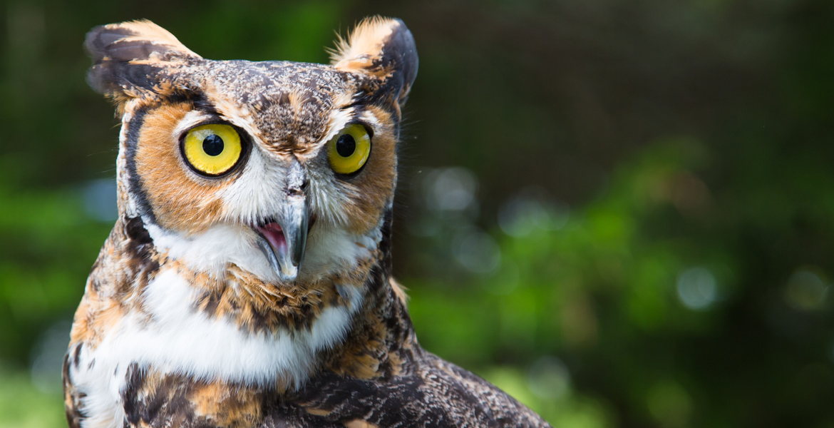 Briscoe the Great Horned Owl