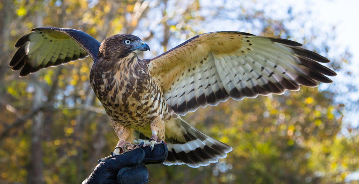 Grayson the Broad Winged Hawk