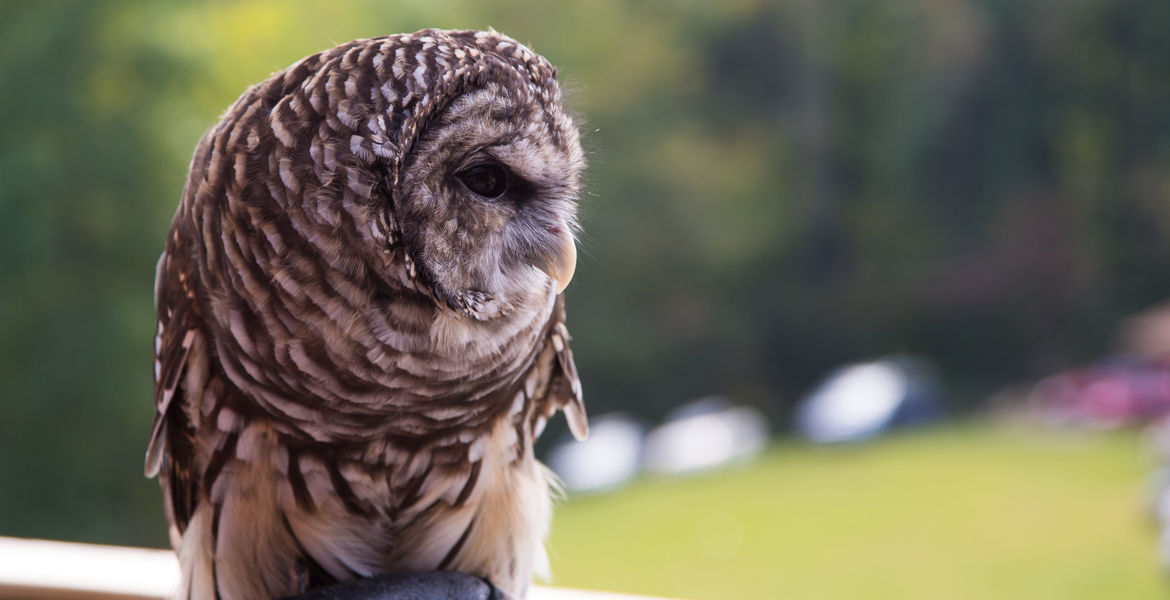 Gus the Barred Owl