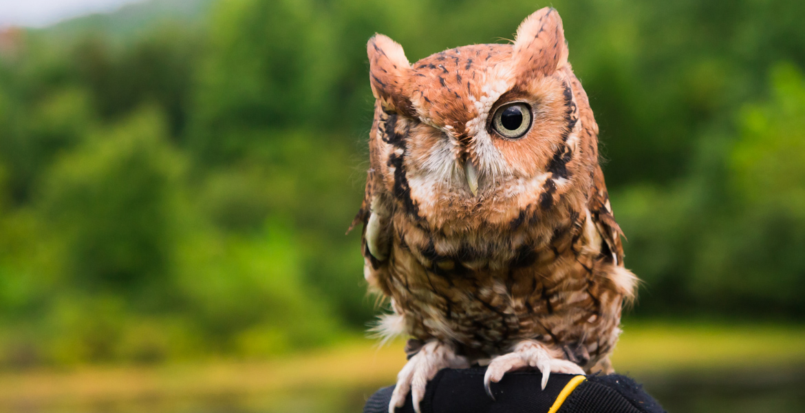 Pignoli the Eastern Screech Owl