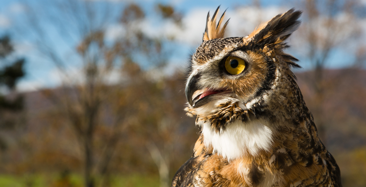 Quinn the Great Horned Owl